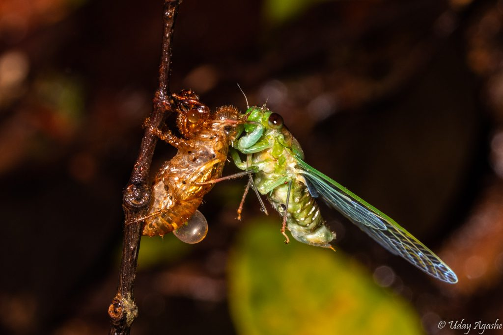 Cicada just out of the molt